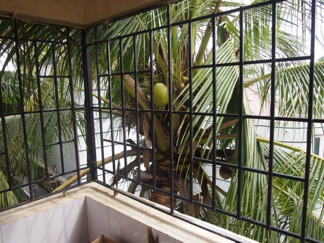 Coconut palm outside kitchen balcony.